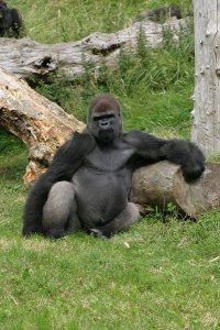 2670954-Gorilla-at-Jersey-Zoo-1